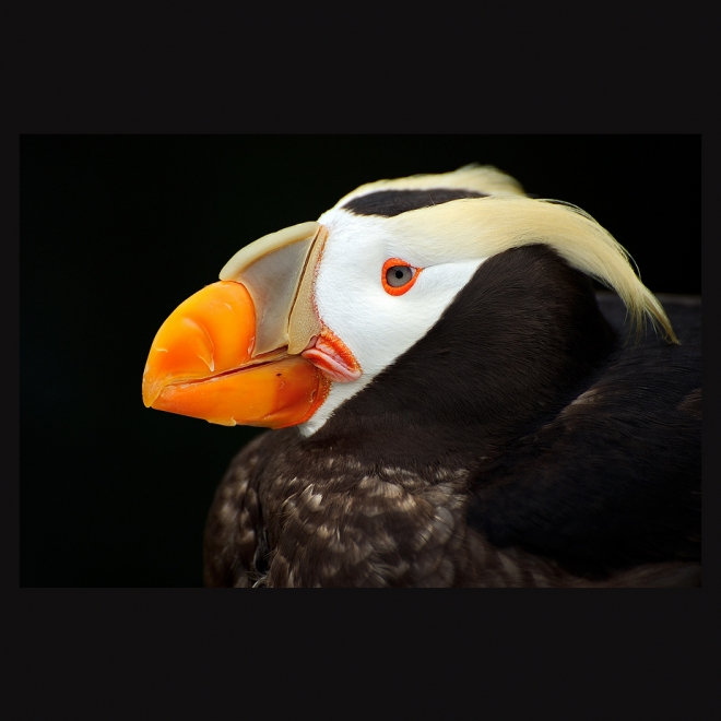 Puffin's portrait